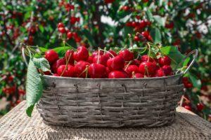 Цыганский рецепт вишневого варенья без утомительной варки ягод